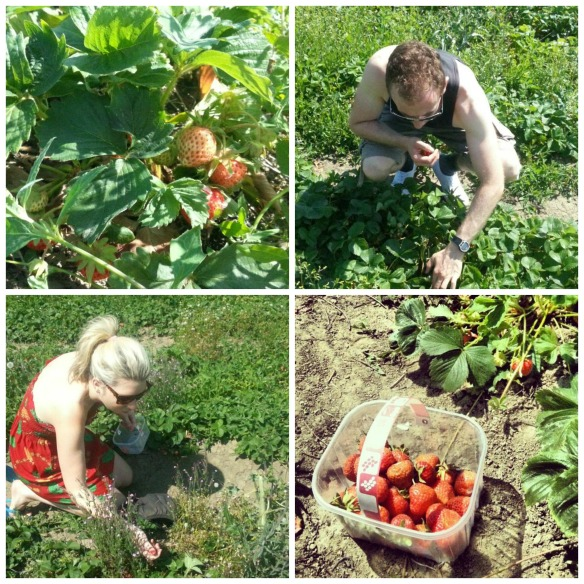 Horsforth strawberry picking