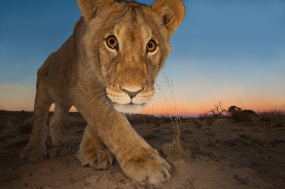 CREDIT: Hannes Lochner/Wildlife Photographer of the Year<br />SOUTH AFRICA<br />Curiosity and the cat<br />JOINT RUNNER-UP: Animal Portraits