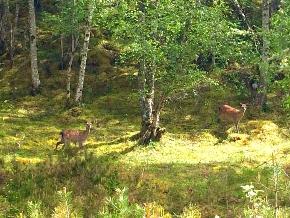 Deer at Loch Ness